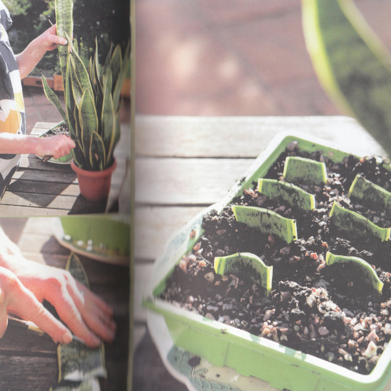 Thrifty Gardener How To Propagate A Snake Plant Simple Luxe Living